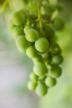 White Grapes (Green Grapes)